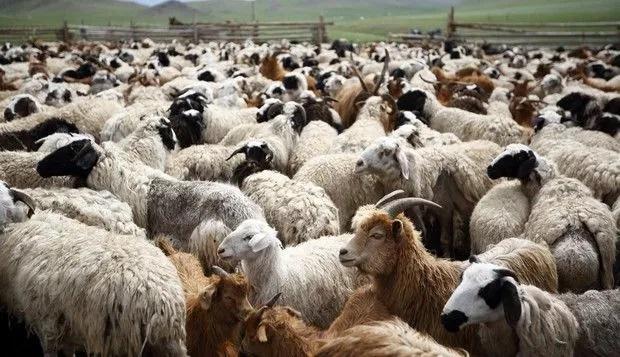 schapen en bokken